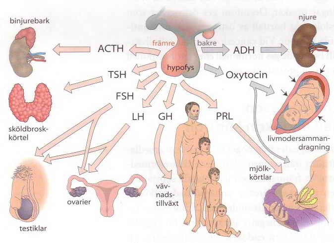 Hormonaxlarna